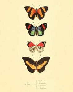 Colorful Butterflies antique Prints Nature print Natural History old prints Home decor wall art Victorian art vintage prints 8x10 art print on Etsy, $10.00