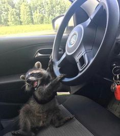 19 Trash Pandas Guaranteed To Brighten Your Day Baby Raccoon, Racoon, Rocket Raccoon, Cute Little Animals, Cute Funny Animals, Cute Creatures, Animal Memes, Spirit Animal, Animal Photography