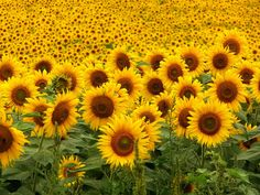 Look at all of these happy faces!  Sunflowers are a very optimistic flower, always turned toward the sun!