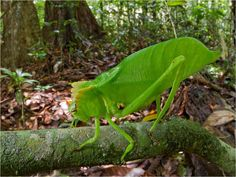 This beautiful green crested katydid (Steirodon sp.) is an obligate herbivore, eating only plants. Its spiny body helps defend it from birds and other animals that want to eat it. Katydids sing at night to attract mates.