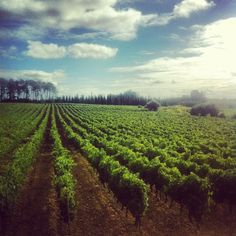 Vineyards in Bairrada, Portugal