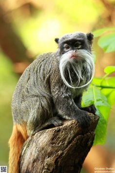 The emperor tamarin (Saguinus imperator) lives in the southwest Amazon Basin, in east Peru, north Bolivia and in the west Brazilian states of Acre and Amazonas.  http://en.wikipedia.org/wiki/Emperor_tamarin