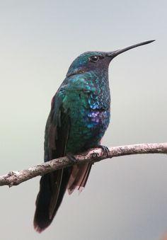 Colibri coruscans / Colibrí chillón / Sparkling Violetear