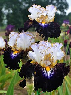When my irises came up this year (60+ buds packed into a few square