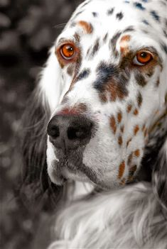 Setter! How much I love this dogs...a lot!