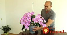 Orchidea - kráľovná izbová rastlín. V skutočnosti jej stačí málo a odvďačí sa vám skutočne krásne - bohatým kvitnutím. Toto radí pestovateľ, ktorý sa môže pochváliť úžasne rozkvitnutými kúskami. Hovorí, že orchidea môže kvitnúť aj Tulips, Bulb, Flowers, Plants, Garden, Orchids, Lawn And Garden, Onions, Plant