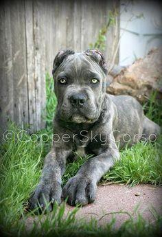 13 Best Blue Brindle Cane Corsos Images Cane Corso Puppies