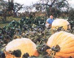 25 seeds Dills Atlantic Giant pumpkin seeds