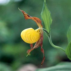 Yellow Lady's-Slipper Orchid-  This orchid is the queen of the spring garden. The stunning, slipper-shaped, yellow flowers are sure to attract attention. Note: While long-lived, yellow lady's slipper can be very slow to get established. Be patient with it!  Name: Cypripedium parviflorum  Growing Conditions: Part shade and moist, acidic soil  Size: To 16 inches tall  ones: 3-7