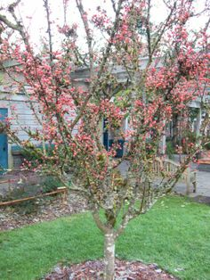 Adirondack Crabapple in Winter Small Trees For Garden, Garden Trees, Landscaping Trees, Apple Tree, Back Gardens, Winter Months, Bloom, Landscape, Fruit