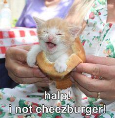Meme Cats