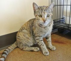 Belinda is an adoptable Torbie searching for a forever family near Louisville…