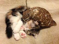 Owlet and kitten are inseparable nap buddies at a café in #Japan. #cute