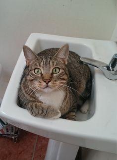 Mi gatito Tomasito cuando lo sorprendí metido dentro del lavatorio