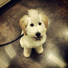 Duke (with his cute haircut!), a four month old Teddy Bear Doodle, was visiting the Global Pet Foods store in Unionville, Ontario in August, 2013.  We love our cute customers!