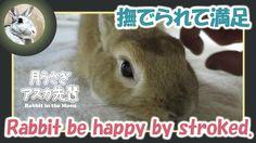 撫でられて満足【ウサギのだいだい 】 Rabbit be happy by stroked. 2015年12月30日