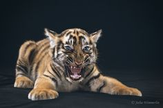 Learning to be a tiger by Julia Wimmerlin on 500px