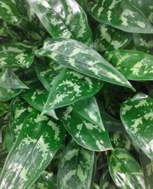 Chinese Evergreen Maria Indoor Plants