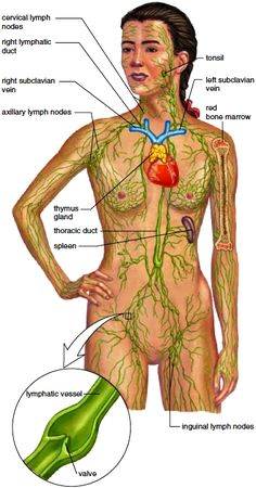 The lymphatic system. Lymphatic vessels drain excess fluid from the tissues and return it to the cardiovascular system...
