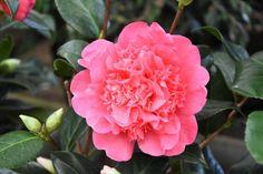 Camellia x Williamsii 'Anticipation', Camellia 'Anticipation', 'Anticipation' Camellia, Fall Blooming Camellias, Winter Blooming Camellias, Spring Blooming Camellias, Early to Late Season Camellias, Pink flowers, Pink Camellias