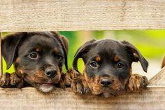 #dier #Dieren #foto #gratis #hek #hond #honden #puppy #rottweiler