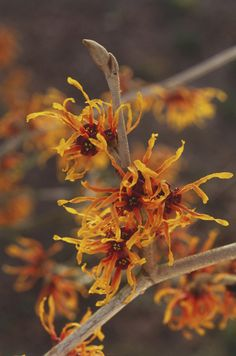 Witch Hazel The shaggy, spidery orange blooms on this tree sprout winter and cluster together on branches. They are very hardy and would be a welcomed colorful addition to your otherwise white (thanks, snow) and brown backyard. Winter Plants, Winter Flowers, Seasonal Flowers, Winter Garden, Indoor Flowering Plants, Blooming Plants, Garden Plants, House Plants, Witch Hazel