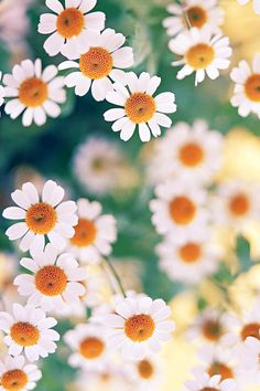 FREEIOS7 | chamomile - parallax iphone wallpaper | FREEIOS7.COM