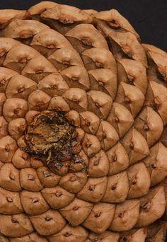 Spiral Pattern in Pine Cone
