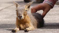 マーラの赤ちゃん 撫でてみた (Scratching Patagonian mara baby)