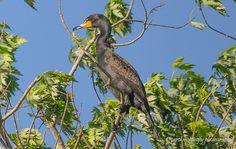 Black Cormorant, Heron Rookery, Old Hickory Lake, Hendersonville, TN