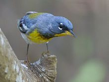 The Northern Parula (Setophaga americana) is a small New World warbler. It breeds in eastern North America from southern Canada to Florida.