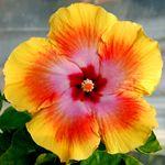 Exotic Hibiscus 'Luminescence'