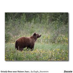 Grizzly Bear near Haines Junction Postcard  #yukon, #canada, #grizzly #bear, #haines #junction, #haines, #wilderness, #wildlife, #nature, #america, #postcard