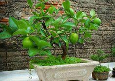 Lime bonsai