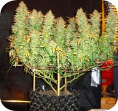 You can simply log in to the online portal and pick up all the amount of weed that you need. Cannabis Seeds For Sale, Cannabis Oil online and a lot more .  To place and order: Website: www.realweedshop.com Tel:  1 (513) 392-0789