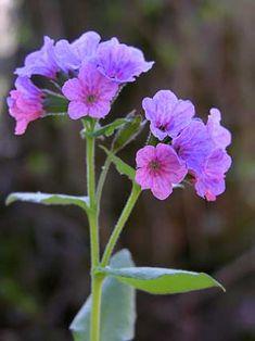 Imikkä, Pulmonaria obscura - Kukkakasvit - LuontoPortti