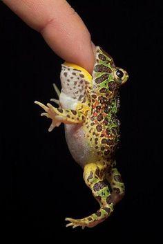 Hungry frog, fromPixdaus:PopularTodayPics    ベルツノガエルだー。      なまえが わかると  りぶろぐしたくなる ふしぎ