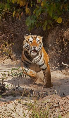 """Photograph by Steve Winter    One moment this Bandhavgarh tiger was snoozing in the shade. The next, says Steve Winter, he charged """"like a shot out of a cannon."""" Winter, who was photographing perched on the windshield of his open-top Jeep, jumped back down into his seat. The tiger veered off."""