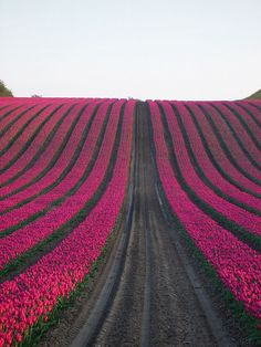 Pink Tulip Field #flowers #tulips