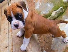 Boxer pup: Hey, how ya doin? Boxer Puppies, Cute Puppies, Cute Dogs, Dogs And Puppies, Doggies, Lap Dogs, Boxer And Baby, Boxer Love, Boxers