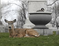 The deer and the goose... what a love story.  The deer would stand guard over the goose that was nesting in an urn in a cemetary (Forest Lawn Cemetary in NY).  The deer would let no one get close.  Once the eggs hatched, the mother goose and babies left safely.  Soooo sweet.  This love story was featured in 2011 with a video cam feeding live via the internet.  Many pp viewed the strange love story.  Yes, I was one of the lucky.