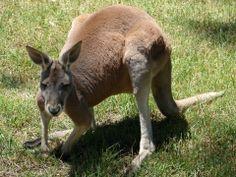 """Kangaroo """"Australian wildlife"""""""