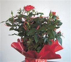 Miniature roses - varieties, care.    Róże miniaturowe - odmiany, pielęgnacja