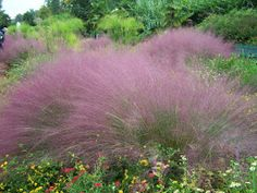 Muhly grass // a Native to North Carolina // with its wispy shoots this delicate grass makes a great addition to a coastal landscape // here on the Outer Banks, this plant pairs well with perennials like Russian Sage, Coreopsis, Lantana, Coneflower