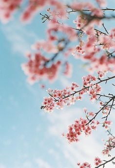 Beautiful cherry blossoms...I love this point of view.