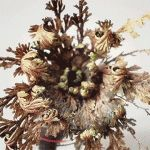 Timelapse of Dormant 'Rose of Jericho' Plants Exploding to Life After Exposure to Water