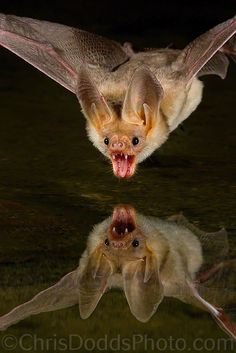 THIRST by Christopher Dodds. This is the most gorgeous bat picture I've ever seen. Animals And Pets, Funny Animals, Cute Animals, Animals Images, Murcielago Animal, Primates, Mammals, Photography Workshops, Nature Photography