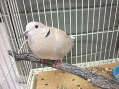 Adopt Beauford, a lovely Other Pet available for adoption at Petango.com. Beauford is a Ringneck Dove and is available at the Humane Society of Boulder Valley in BOULDER, CO