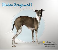 Did you know the Italian Greyhound appears in ancient art of Mediterranean countries dating back over 2,000 years? Read more about this breed by visiting Petplan pet insurance's Condition Checker!