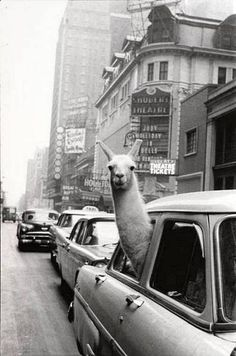 Times Square, 1957: A llama in a taxi.